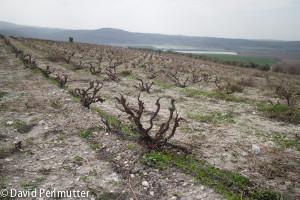 Recanati's Wild Carignan Vineyard