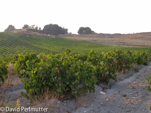 Goblet-trained Bush Vine Carignan in the Sorek Valley.