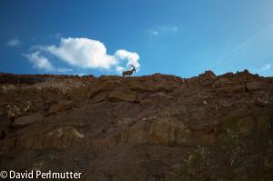 A Nubian Ibex